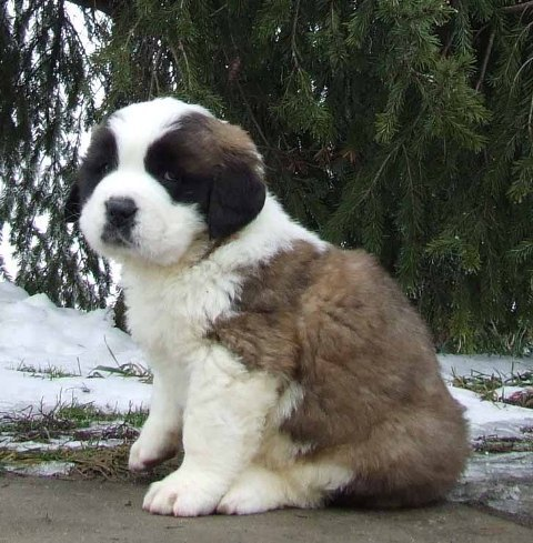 Saint Bernard Puppies on Saint Bernard Puppies Blog On We Heart It   Visual Bookmark  7620915