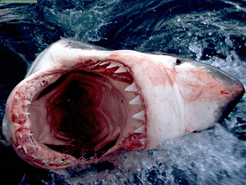 Great_white_shark__south_africa_large