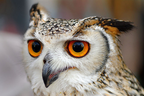 Indian Eagle Owl (star of Harry Potter) | Flickr – Compartilhamento de fotos!