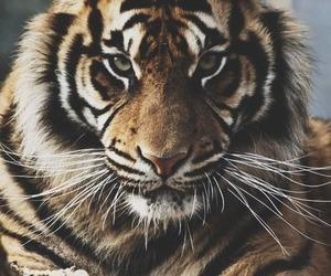 tiger