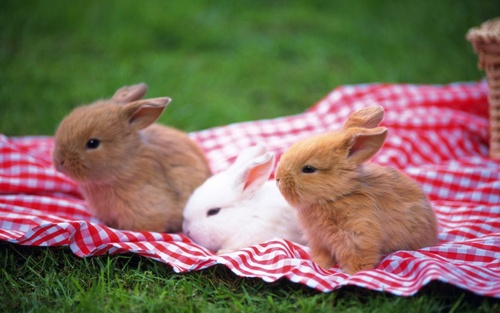 Three_rabbit_on_lawn-1280x800_large
