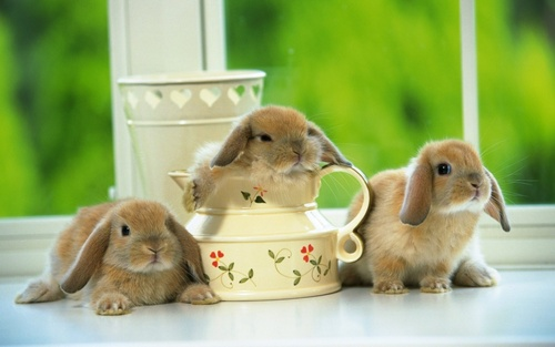 Three_brown_rabbits-1280x800_large