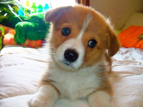Corgipuppy_large