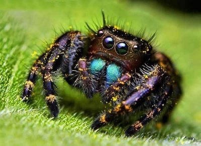 http://data.whicdn.com/images/8617717/jumping+spider+eyes+8_large.jpg