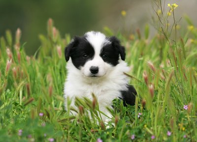 Border Collie Puppies on Border Collie Puppies On We Heart It   Visual Bookmark  8722146