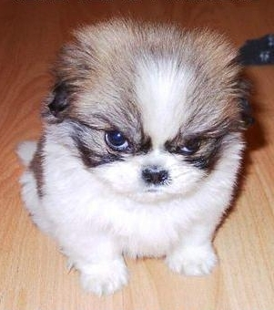 Angry-puppy_27722170_142505107_large