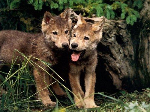 Wolf-pups-cute-kids_large