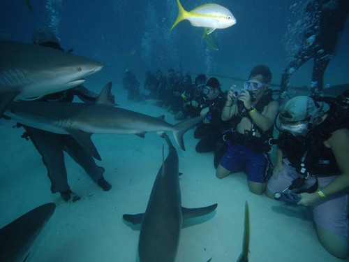 Grand-bahamas-unexso-shark-dive_large