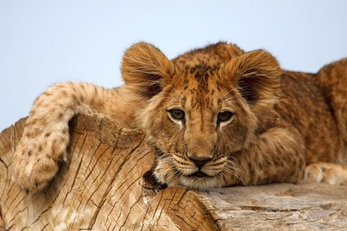 Lion_cub_on_a_tree_by_tygrik_large