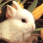 Lolly Bunny