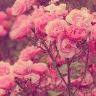 rosasoul