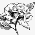 *Garden_rose*