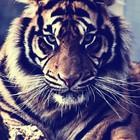 I'm a Tiger