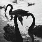 blackswanheart