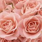 so rosy