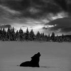 Honest Wolf