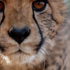 tiger ebra