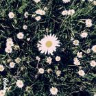 stella_marly