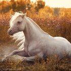 Horses Army