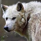 wolfy su