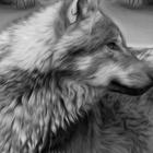 whitewolf500z