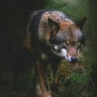 Soul Wolf