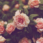 Rose's Rose