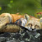 denthexlove msp fox