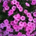 pinkrose3100