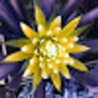 Sáfrányos Erdei Kaktusz