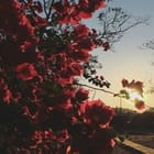 honey_blossom