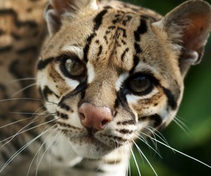 cat and ocelot image
