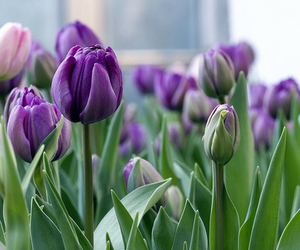 tulips, flowers, and purple image