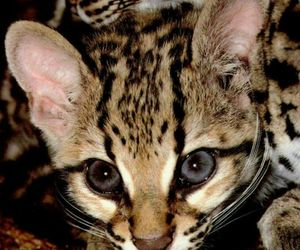 animal, big cats, and ocelot image