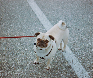 pug, red, and cute image
