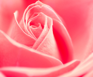 read, rose, and soft image