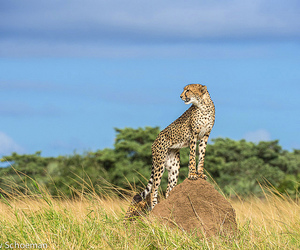 beautiful, big cats, and blue sky image
