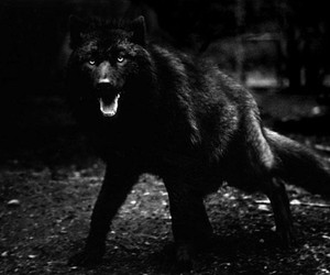 wolf, black, and black and white image