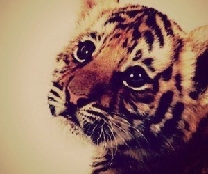 tiger, cute, and animal image