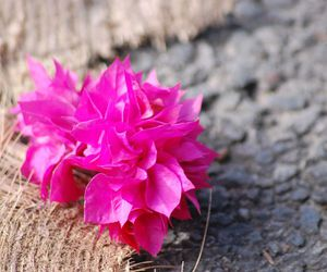Cairns, australia, and pink flowers image