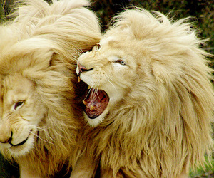 adorable, lion, and photography image