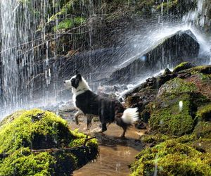 dog, waterfall, and bordercollie image