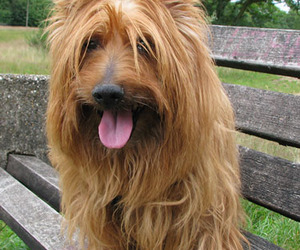 dog, cute, and australian terrier image