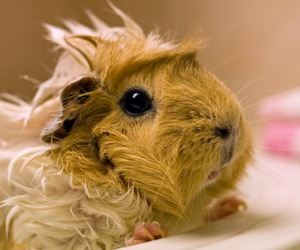 guinea pig and cute image