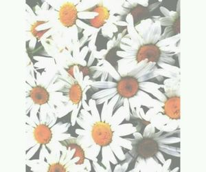 daisies, flowers, and backgrounds image