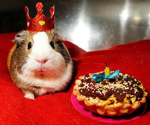 birthday and guinea pig image