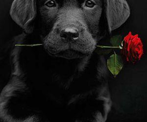 dog, rose, and black image