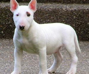bull terrier, dog, and puppy image