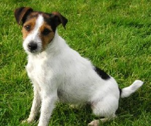 images, cute, and jack russel all dog breed image