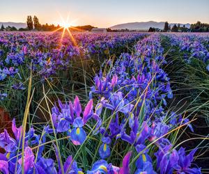 purple flowers image